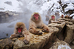 Please call 888-973-0011 or email info@artwolfe.com to purchase a print.<br /> <br /> Japanese macaques, Nagano, Japan