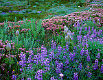 Mount Rainier National Park, WA <br /> Purple lupine, pink heather, and western anemone blooming in alpine meadow at Paradise