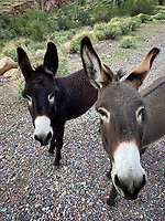 Can We Come In? Wild Burros - Arizona