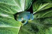 Monte Verde, Costa Rica. Granular Glass Frog (Cochranella granulosa) on a leaf.