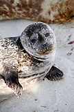 USA, California, San Diego, a resting seal at Children's Pool Beach in La Jolla