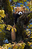 Red panda or Lesser panda (Ailurus fulgens) in the humid montane mixed forest, Laba He National Nature Reserve, Sichuan, China
