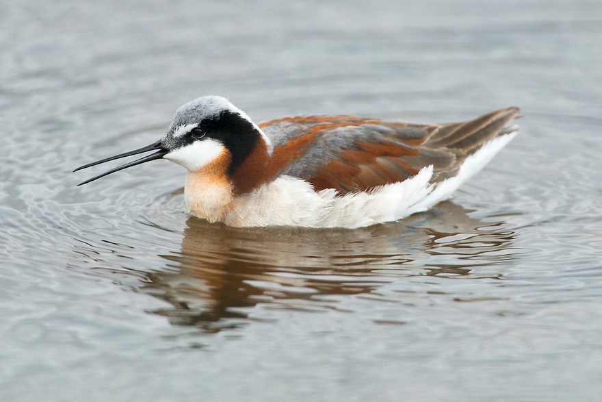 A Wilson's Phalarope feeds in a wetland along the Jefferson River near Three Forks, Montana.