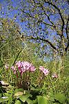 Israel, Sharon, Cyclamen flowers in Alonei Yitzhak forest.