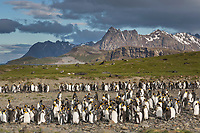 Salisbury Plain, South Georgia Island