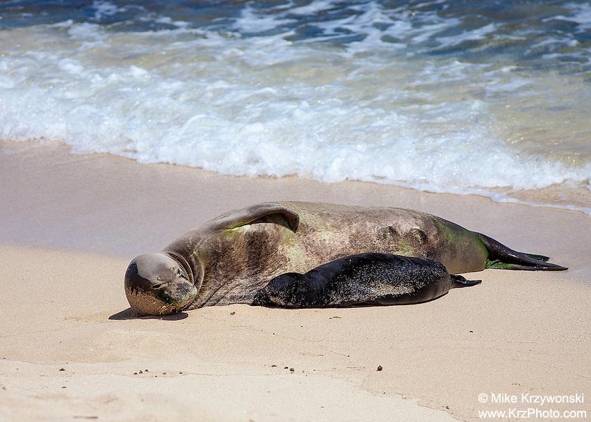 Mother w/ nursing pup Hawaiian monk seals on beach, Mokuleia, Oahu