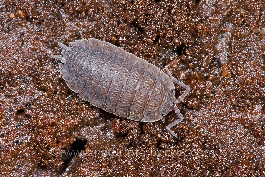 Kellerassel, Keller-Assel, Porcellio scaber, common rough woodlouse, garden woodlouse, slater, scabby sow bug