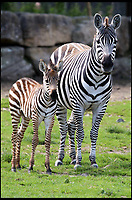 "BNPS.co.uk (01202 558833)<br /> Pic: IanTurner/BNPS<br /> <br /> Lucky Stripes...<br /> <br /> Longleat Safari park in Wiltshire is celebrating the arrival of not one but four baby Zebra's this summer.<br /> <br /> Keepers at Longleat Safari Park are celebrating a baby boom among their herd of zebras.<br /> <br /> Four foals have arrived in the last month at the Wiltshire attraction with two more due to arrive in the coming days.<br /> <br /> The foals are born following a year-long pregnancy, weighing just over 15kgs at birth.<br /> <br /> Ryan Hockley, of Longleat, said: ""This is definitely one of the best years ever here at Longleat for the sheer number of foals being born."""