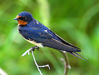 Adult female barn swallow