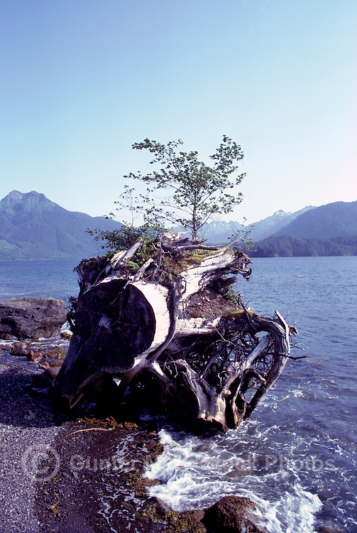Haida Gwaii (Queen Charlotte Islands), Northern BC, British Columbia, Canada - Nursing Tree - Young Tree growing on Tree Stump, Rennel Sound, Graham Island