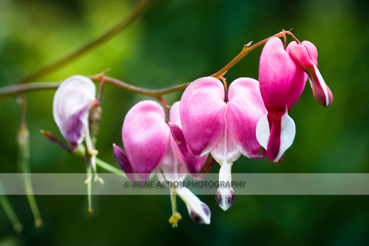 A large variety of flowers, like these bleeding hearts, dot the 50-acre expanse of the award-winning Brookside Gardens in Silver Spring, Maryland.