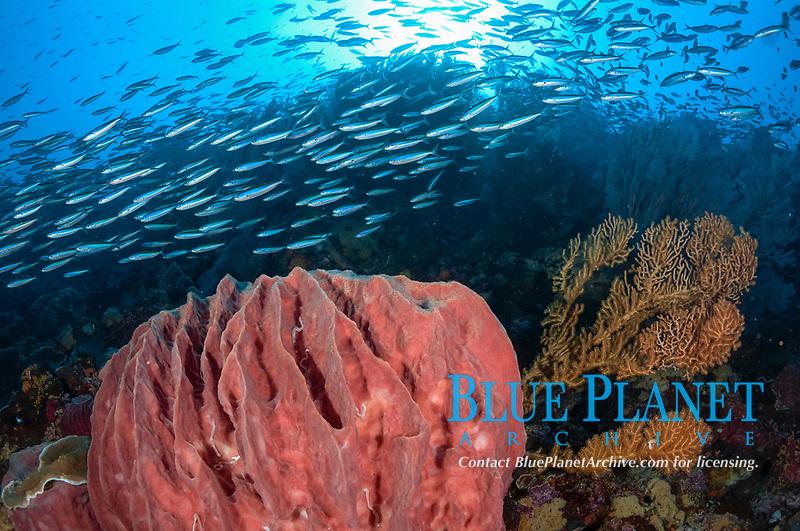 Bluestreak Fusiliers, school swimming around Barrel Sponge, Xestospongia testudinaria, with sun in background, Snake Ridge dive site, Gunung Api, near Alor, Indonesia, Banda Sea, Pacific Ocean
