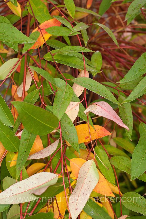 Großer Eukalyptus, Eukalyptus, Blaugummibaum, Eucalyptus grandis, Flooded gum, Rose gum, Rose Gum Eucalyptus, Gum, Ironbark