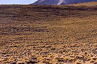 Chile, vicuna in the Puna de Atacama