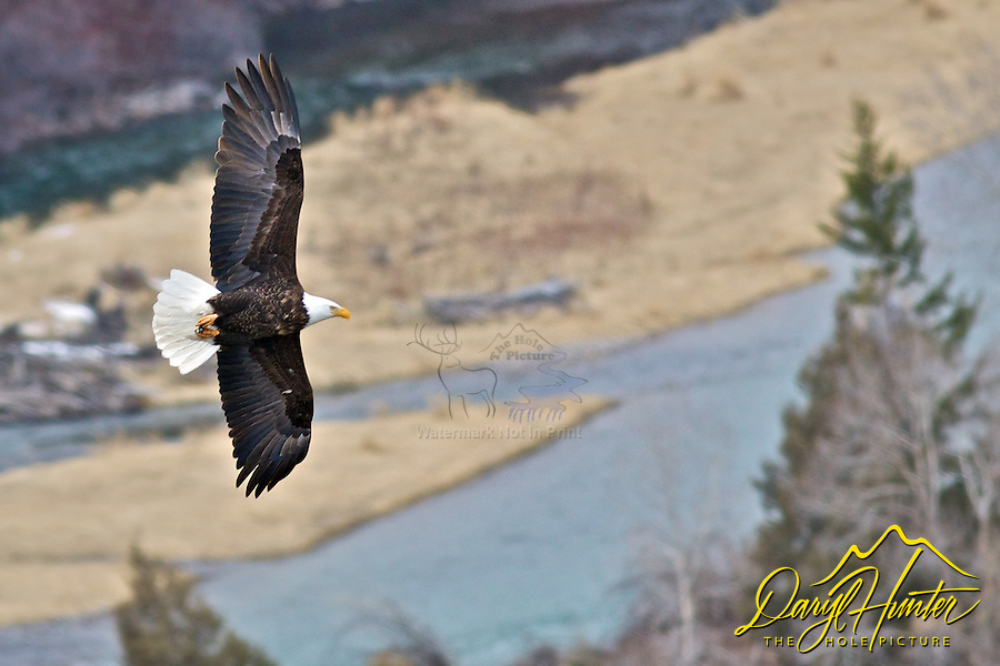 Bald Eagle in Flight over the Snake River near Ririe Idaho