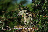 00684-02810 Great Blue Heron (Ardea herodias) pair placing branch on nest   FL