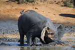 Elephant, Loxodonta africana, wallowing in muddy water, Addo Elephant National park, Eastern Cape, South Africa