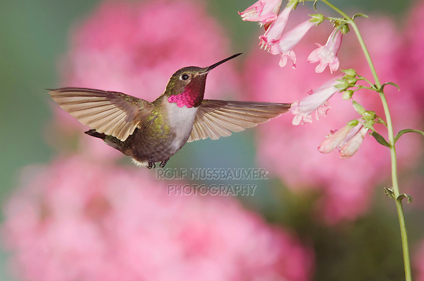 Broad-tailed Hummingbird, Selasphorus platycercus,male in flight feeding on Penstemon flower(Penstemon sp.),Rocky Mountain National Park, Colorado, USA