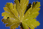 A wild berry leaf seen along the trail to Lower Kinney Lake near Markleeville, Ca., on Monday, Oct. 17, 2011..Photo by Cathleen Allison