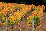 Vineyards in fall, near Philo, Anderson Valley, Mendocino County, California