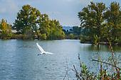 Great Egret (Ardea alba) in the  Sepulveda Basin Recreation Area, Los Angeles, California, USA