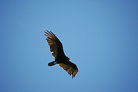 Turkey Vulture at Everglades National Park. Photo/Debi Pittman Wilkey