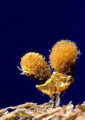 SD09-042x  Slime Mold - fruiting bodies - Hemitrichia clavata -10x