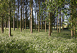 Common or Quaking Aspen trees, Populus tremula, in a small plantation near Bures, Suffolk, England