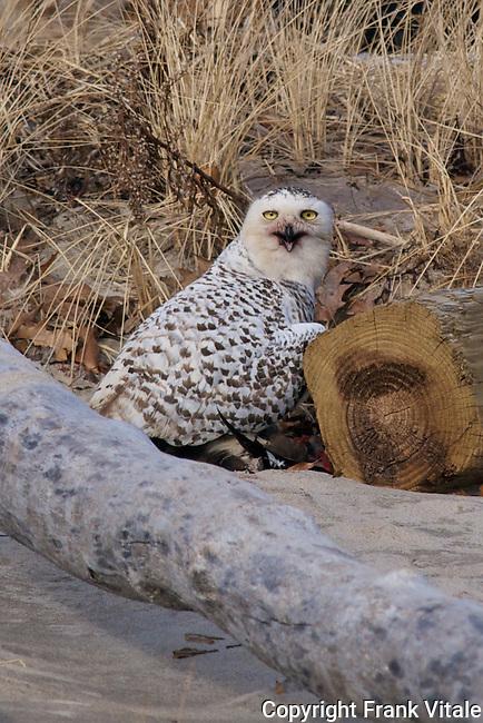 Snowy Owl with Prey, Parker River NWR, Newburyport, MA