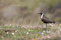 American golden plover on the flowering spring tundra in Denali National Park, Alaska