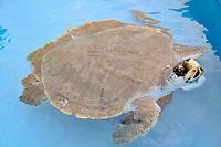Olive Ridley Turtle, Lepidochelys olivacea, Projeto Tamar, Florianopolis, Santa Catarina, Brazil