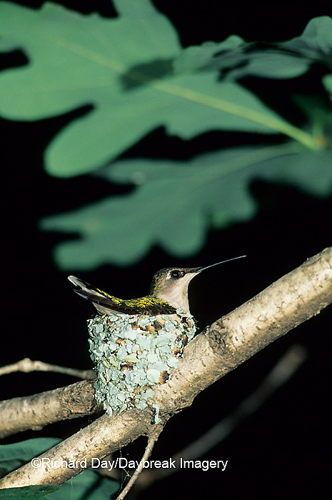 01162-01817 Ruby-throated Hummingbird (Archilochus colubris) female on nest, Marion Co. IL