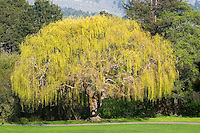 Golden Weeping Willow, Carmel Valley, CA