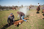 Late winter calf marking, branding and doctoring at the Stony Creek corral with the Busi Ranch in the Sierra Nevada Foothills of Amador County, Calif...Frank and Colette Busi brand a calf as Mattley Dell'Orto keeps the calf stretched
