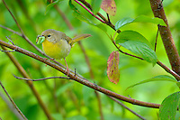 Common Yellowthroat (Geothlypis trichas) female bring food back to nest.  Pacific Northwest.  June