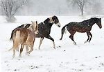 Horses owned by John Burson of Ellington play in the snow in a large open field behind Burson's home on Tomoka Ave., as the area gets the first snowstorm of the season, Saturday, December 9, 2017, in Ellington. (Jim Michaud / Journal Inquirer)