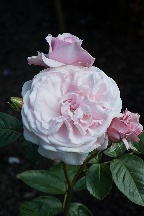 Rosa Constance Finn ('Hareden'), mid June. Sometimes alsoknown as Rosa Windsor Castle or Elizabeth Finn.