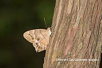 03481-00105 Southern Pearly-Eye (Enodia portlandia) Big Oak Tree State Park Mississippi County, MO