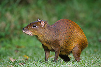 Central American Agouti, Dasyprocta punctata, adult, Bosque de Paz, Central Valley, Costa Rica, Central America, December 2006