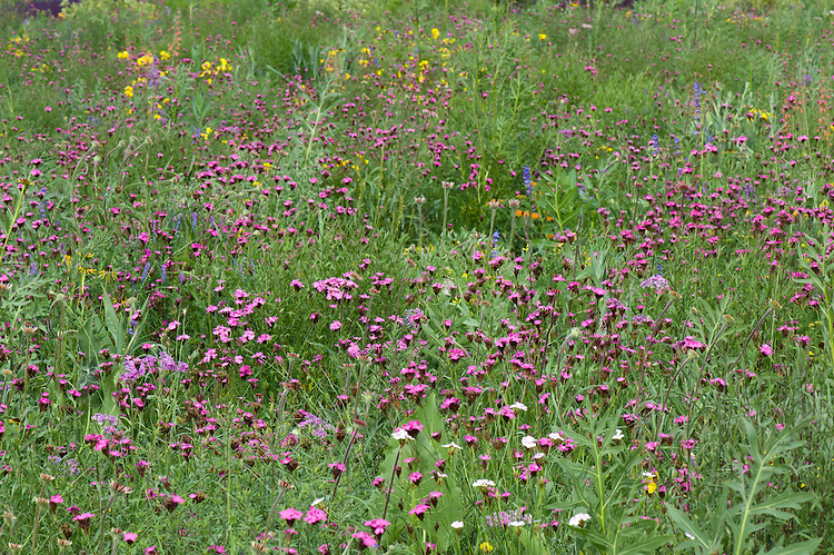Carthusian pinks (Dianthus carthusianorum) flowering in a mixed prairie-meadow planting, end June.