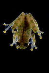 La Palma Glass Frog, Hyalinobatrachium valerioi, looking at underside of body, showing internal organs, Guayacan, Provincia de Limon, Costa Rica, Amphibian Research Center, tropical jungle, South America, transparent.Central America....