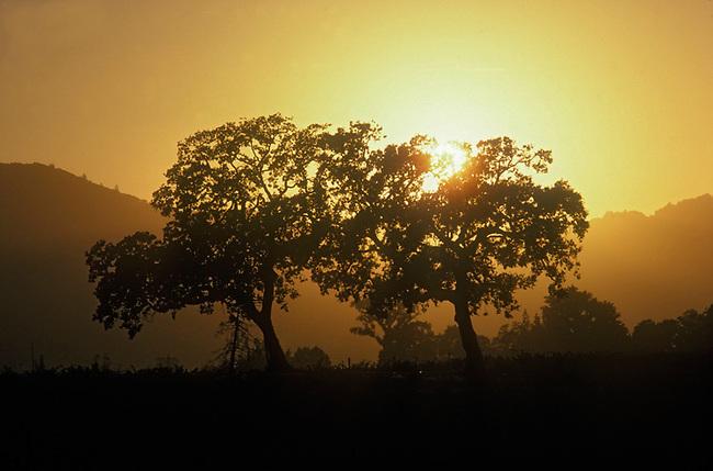 Sunset behind trees in vineyard