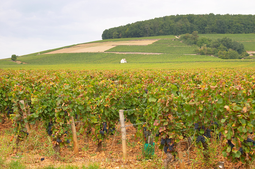 Vineyard. And hilltop, Corton. Aloxe Corton, Cote de Beaune, d'Or, Burgundy, France