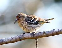Female pine siskin
