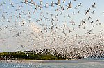 Huge flock of White Ibis (Eudocimus albus) in breeding plumage, flying to their mangrove-covered island rookery as the sun goes down, Tampa Bay, Florida, USA