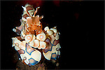 Harlequin shrimp: Hymenocera elegans, head on view, Tulamben, Bali