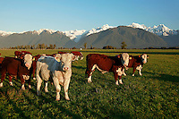 Young bulls graze in a paddock with Fox Glacier and Southern Alps behind, South Westland New Zealand.