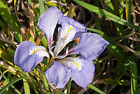 Iris unguicularis in bloom | Winter Algerian Iris