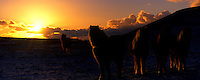 Icelandic ponies at sunset near Reykjavik Iceland. Panorama images taken with Hasselblad Xpan camera and Fuji Velvia film.