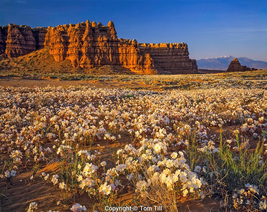 Copius Primrose Blooms after a Heavy Rain, Henry Mountains, Utah